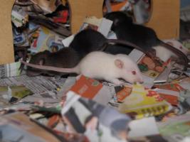 Rattenbaby`s suchen liebevolles zu Hause