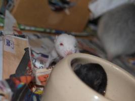 Foto 3 Rattenbaby`s suchen liebevolles zu Hause