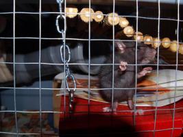 Foto 5 Rattenbaby`s suchen liebevolles zu Hause