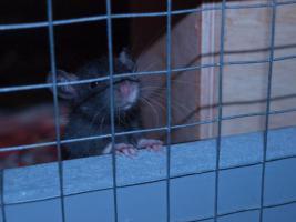 Foto 6 Rattenbaby`s suchen liebevolles zu Hause