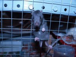 Foto 8 Rattenbaby`s suchen liebevolles zu Hause