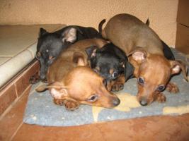 Foto 2 Rattlerwelpen und Mini Beagle abzugeben