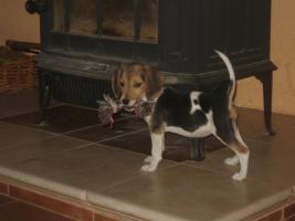 Foto 3 Rattlerwelpen und Mini Beagle abzugeben