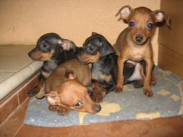 Foto 5 Rattlerwelpen und Mini Beagle abzugeben