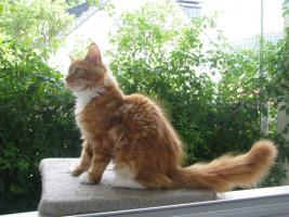 Red/White solid Maine Coon Poly boy!!