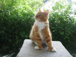 Foto 2 Red/White solid Maine Coon Poly boy!!