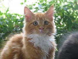 Foto 4 Red/White solid Maine Coon Poly boy!!