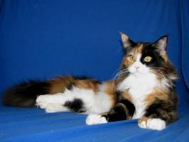 Foto 6 Red/White solid Maine Coon Poly boy!!
