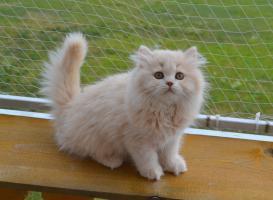 Reinrassige BKH/BLH Kitten