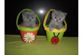 Reinrassige BKH Kätzchen