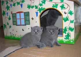 Foto 3 Reinrassige BKH-Kitten