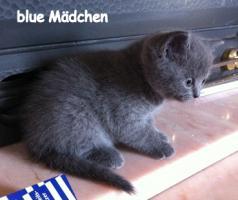 Foto 3 Reinrassige BKH Kitten