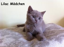 Foto 2 Reinrassige BKH Kitten