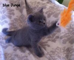 Foto 4 Reinrassige BKH Kitten