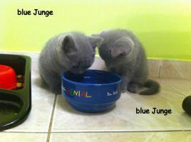Foto 7 Reinrassige BKH Kitten