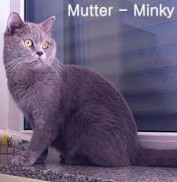 Foto 9 Reinrassige BKH Kitten