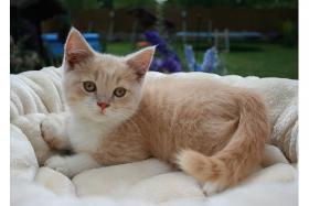 Reinrassige BKH Kitten mit Impfung, und TÄ untersuchung, Entwurmung