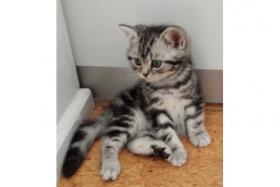 Foto 2 Reinrassige BKH Kitten mit Impfung, und TÄ untersuchung, Entwurmung