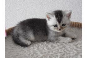 Foto 4 Reinrassige BKH Kitten mit Impfung, und TÄ untersuchung, Entwurmung