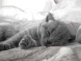 Reinrassige BKH Kitten in blau