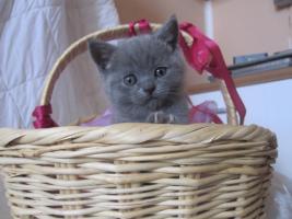 Foto 2 Reinrassige BKH Kitten in blau