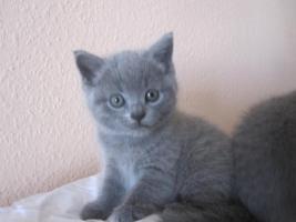 Foto 3 Reinrassige BKH Kitten in blau