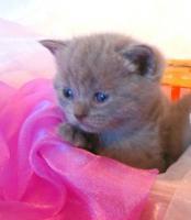 Foto 4 Reinrassige BKH Kitten in blau