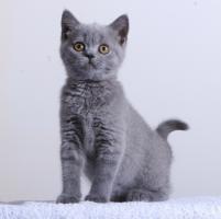 Reinrassige BKH Kittens Abzugeben