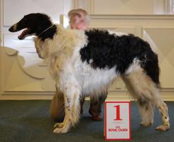 Foto 2 Reinrassige Barsoi - Russischer Windhund
