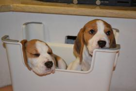 Foto 3 Reinrassige Beagle Welpen auf Hobbyzucht
