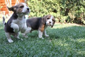 Foto 9 Reinrassige Beagle Welpen (geb. 16.03.2011)