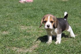 Foto 10 Reinrassige Beagle Welpen (geb. 16.03.2011)