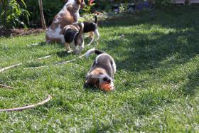 Foto 11 Reinrassige Beagle Welpen (geb. 16.03.2011)