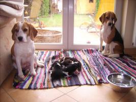 Foto 14 Reinrassige Beagle Welpen (geb. 16.03.2011)