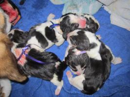 Foto 3 Reinrassige Beaglewelpen ab Anfang Oktober abzugeben....