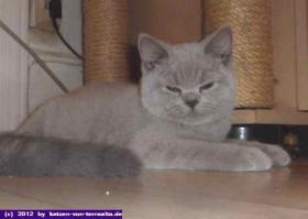 Reinrassige Britisch Kurzhaar Katzen