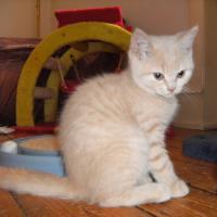 Foto 2 Reinrassige Britisch Kurzhaar Katzen