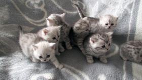 Reinrassige Britisch Kurzhaar Katzenbabys Babykatzen vom Züchter