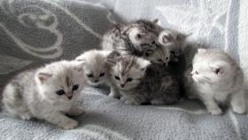 Foto 2 Reinrassige Britisch Kurzhaar Katzenbabys Babykatzen vom Züchter