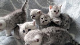 Foto 3 Reinrassige Britisch Kurzhaar Katzenbabys Babykatzen vom Züchter