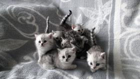 Foto 4 Reinrassige Britisch Kurzhaar Katzenbabys Babykatzen vom Züchter