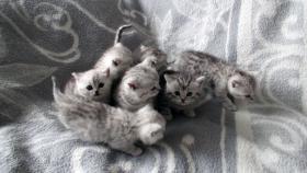 Foto 5 Reinrassige Britisch Kurzhaar Katzenbabys Babykatzen vom Züchter