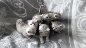 Foto 7 Reinrassige Britisch Kurzhaar Katzenbabys Babykatzen vom Züchter