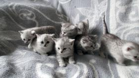Foto 9 Reinrassige Britisch Kurzhaar Katzenbabys Babykatzen vom Züchter