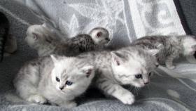 Foto 10 Reinrassige Britisch Kurzhaar Katzenbabys Babykatzen vom Züchter