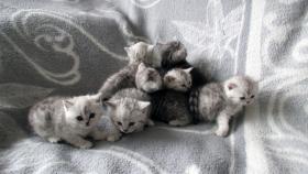 Foto 11 Reinrassige Britisch Kurzhaar Katzenbabys Babykatzen vom Züchter