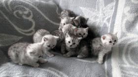 Foto 12 Reinrassige Britisch Kurzhaar Katzenbabys Babykatzen vom Züchter