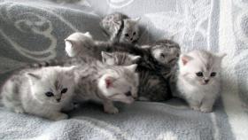 Foto 13 Reinrassige Britisch Kurzhaar Katzenbabys Babykatzen vom Züchter