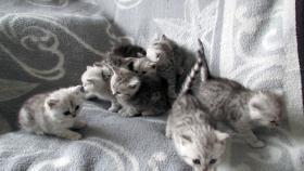 Foto 14 Reinrassige Britisch Kurzhaar Katzenbabys Babykatzen vom Züchter