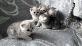 Foto 15 Reinrassige Britisch Kurzhaar Katzenbabys Babykatzen vom Züchter